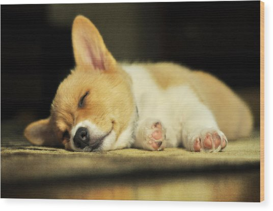 Happiness Is A Warm Corgi Puppy Wood Print
