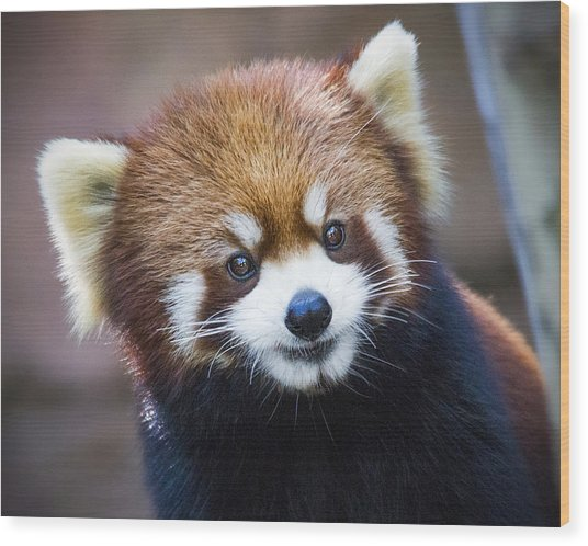 Happy Red Panda Wood Print