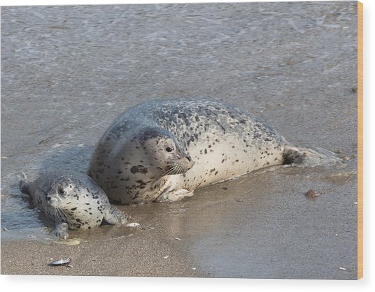 Harbor Seals In The Surf Wood Print