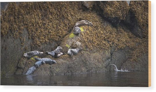 Harbor Seals Wood Print
