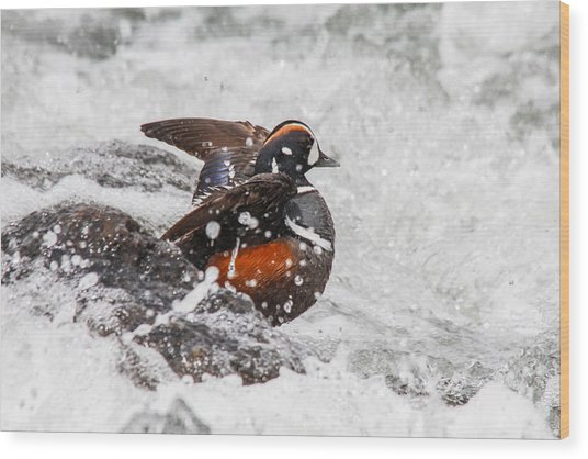 Harlequin In The Rapids Wood Print by Jill Bell