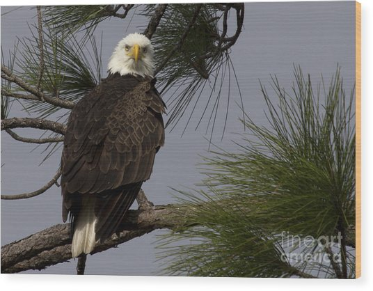 Harriet The Bald Eagle Wood Print