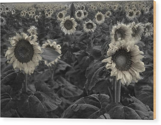 Haunting Sunflowers Field 3 Wood Print