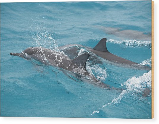 Hawaiian Spinner Dolphin / Stenella Wood Print