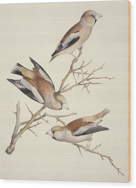 Hawfinches, 19th Century Artwork Wood Print by Science Photo Library