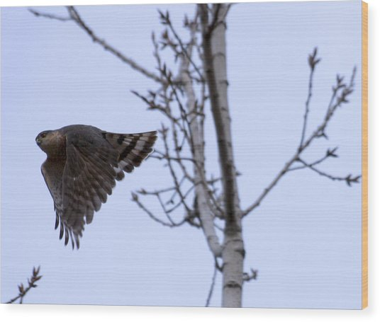 Hawk And Birch Wood Print by Valerie Wolf