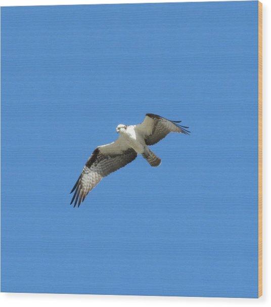 Hawk In Flight Wood Print