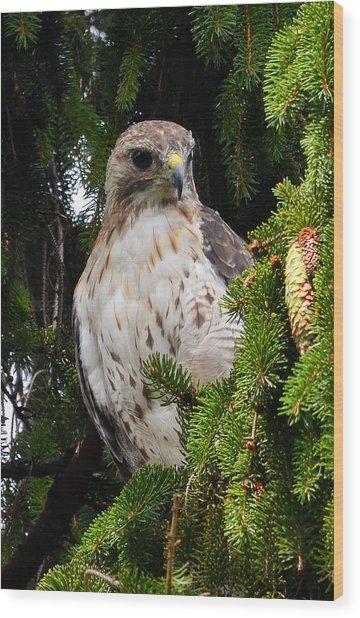 Hawk In Pine Wood Print