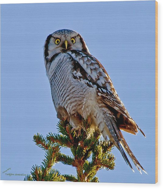 Hawk Owl Square Wood Print