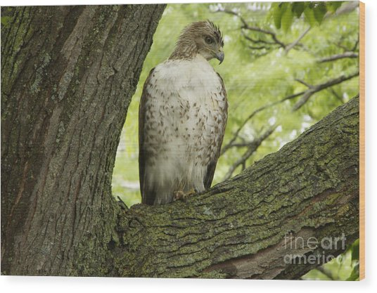 Hawk Stares Wood Print
