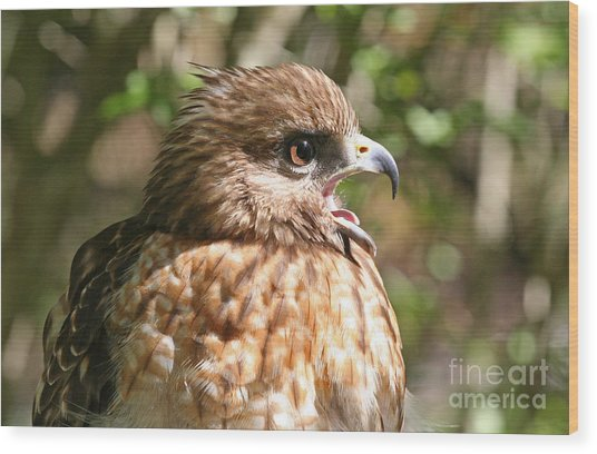 Hawk With An Attitude Wood Print