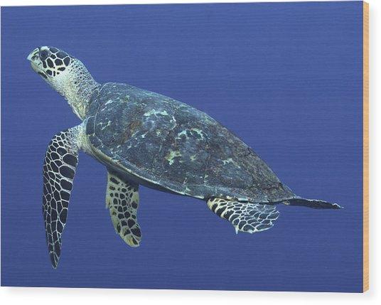 Hawksbill Turtle Wood Print by Paula Marie deBaleau