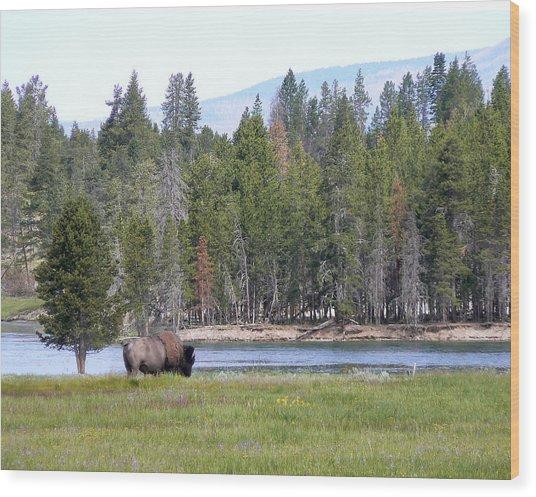 Hayden Valley Bison Wood Print