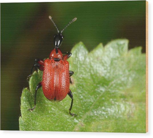 Hazel Leaf-roller Weevil Wood Print by Nigel Downer