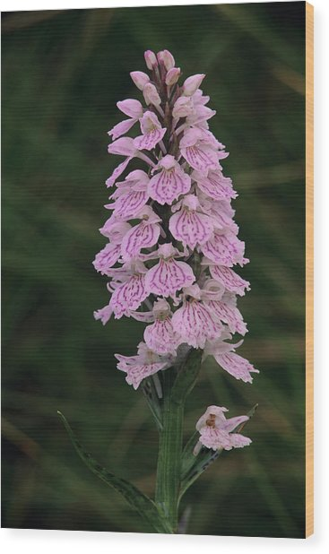 Heath Spotted Orchid Flowers Wood Print by Duncan Shaw/science Photo Library