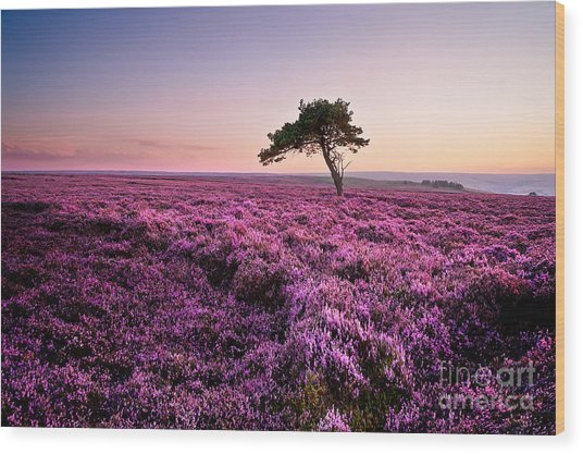 Heather At Sunset Wood Print