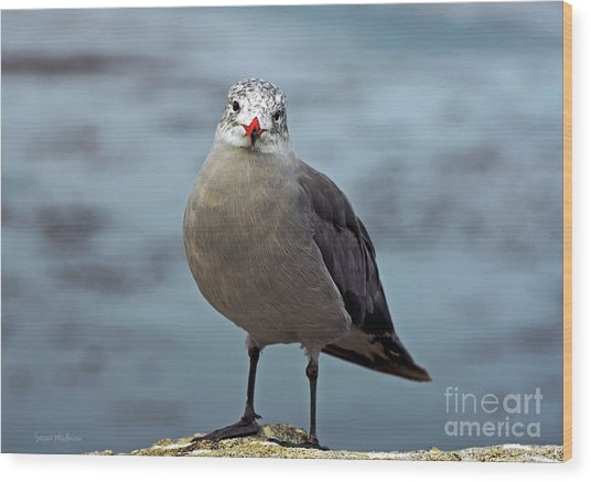 Heermann's Gull Looking At Camera Wood Print