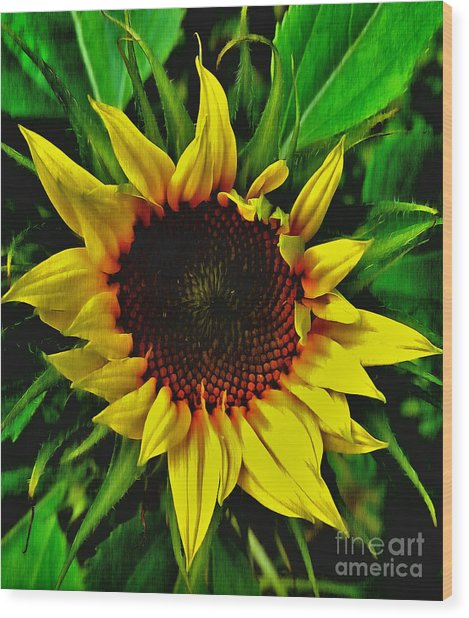 Wood Print featuring the painting Helianthus Annus - Sunnydays by Vix Edwards