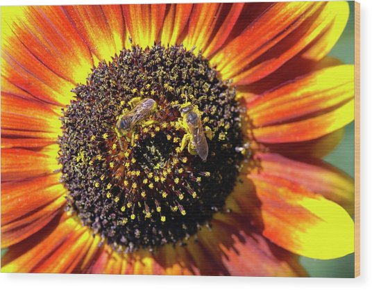 Helianthus Annuus 'solar Eclipse' Wood Print by Brian Gadsby/science Photo Library