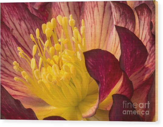Hellebore Ruby Yellow Glow Wood Print