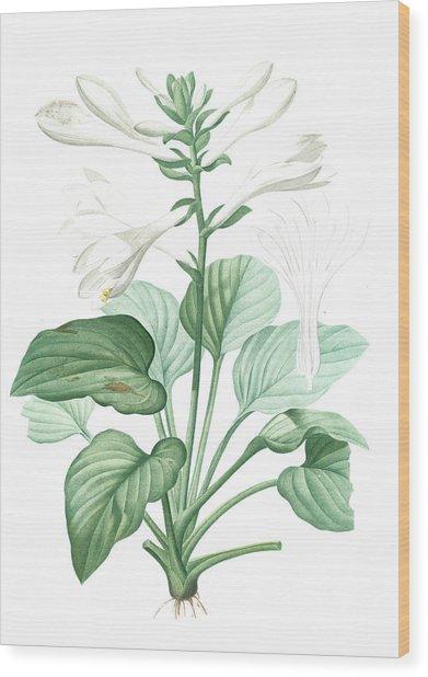 Hemerocallis Japonica, Hosta Plantaginea Hémérocalle Du Wood Print