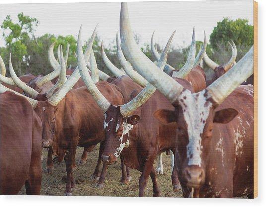 Herd Of Ankole-watusi Cattle, Kenya Wood Print by Martin Harvey