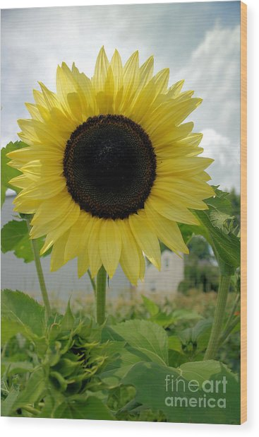 Here Comes The Sun...flower. Wood Print