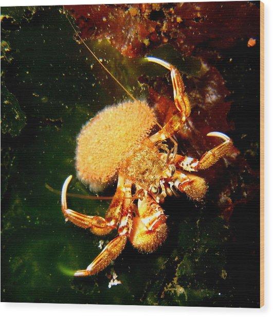 Hermit Crab Wood Print by April Muilenburg