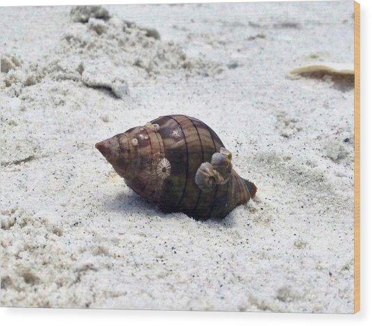Hermit Crab Of Siesta Key Florida Wood Print