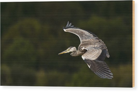 Heron Coming In To Land Wood Print