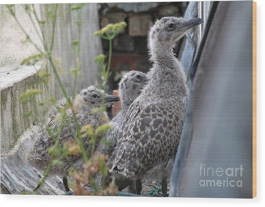 Herring Gull Chicks Wood Print