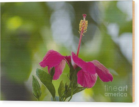 Hibiscus Blooming Wood Print
