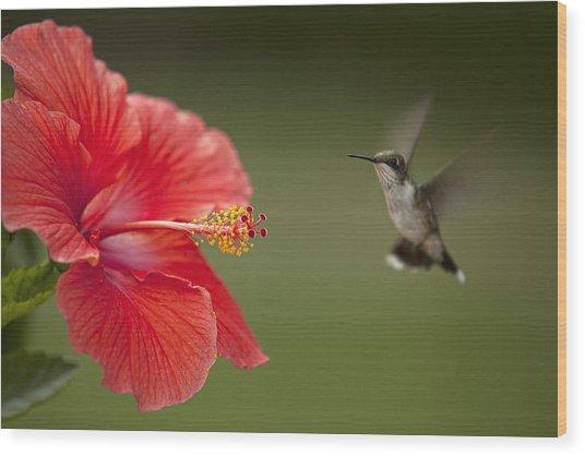 Hibiscus Hummingbird Wood Print