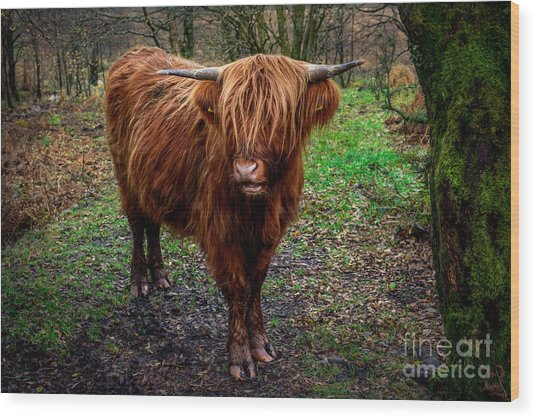 Highland Beast  Wood Print
