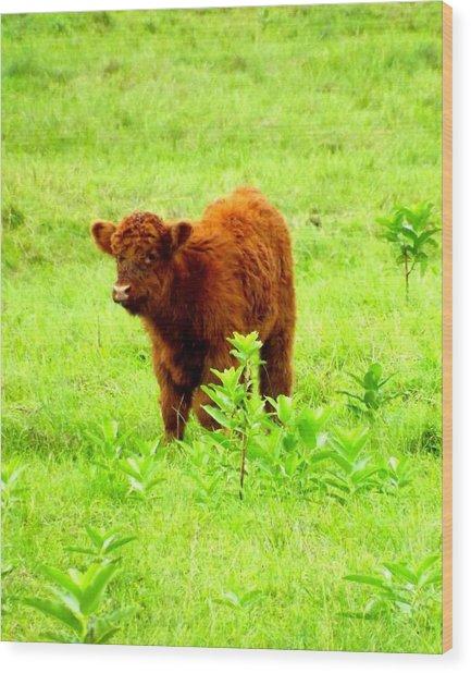 Highland Calf Wood Print by Dancingfire Brenda Morrell