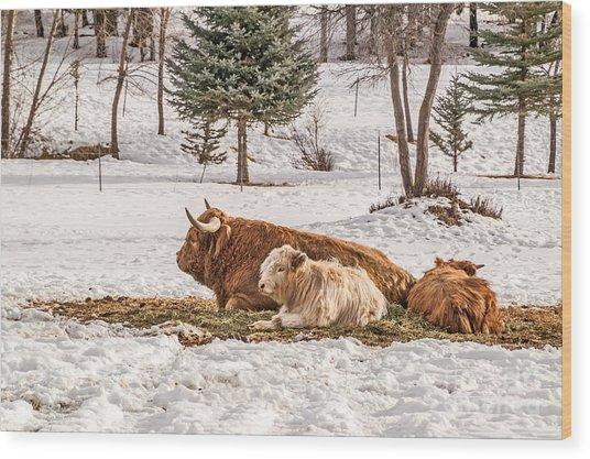 Highland Cow With Calves Wood Print