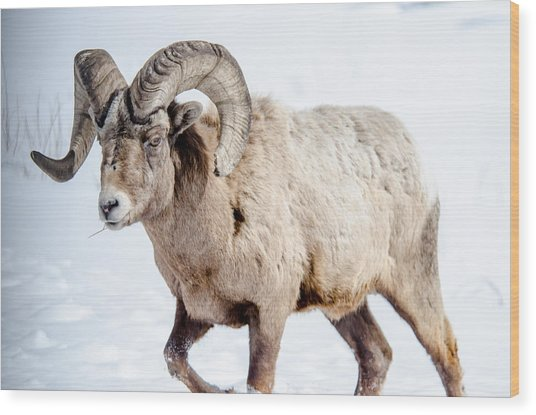 Big Horns On This Big Horn Sheep Wood Print