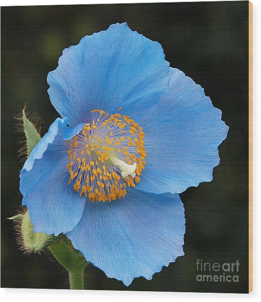 Himalayan Gift -- Meconopsis Poppy Wood Print