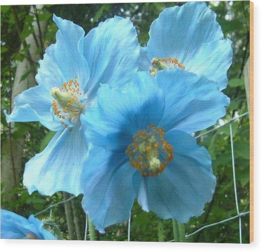 Himalayan Poppy Wood Print