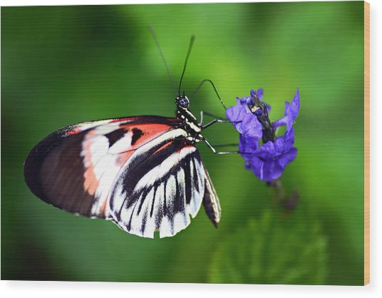 Hint Of Red Butterfly Wood Print