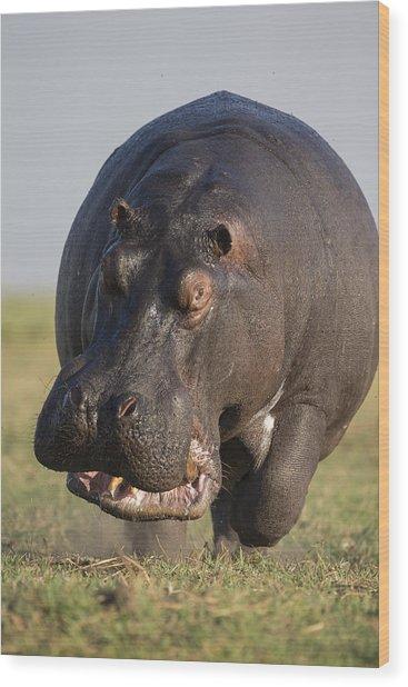 Hippopotamus Bull Charging Botswana Wood Print