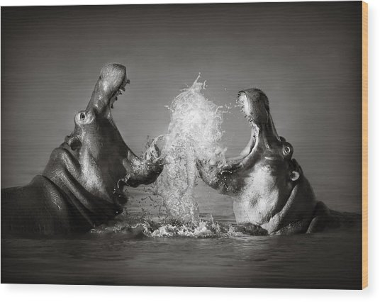 Hippo's Fighting Wood Print