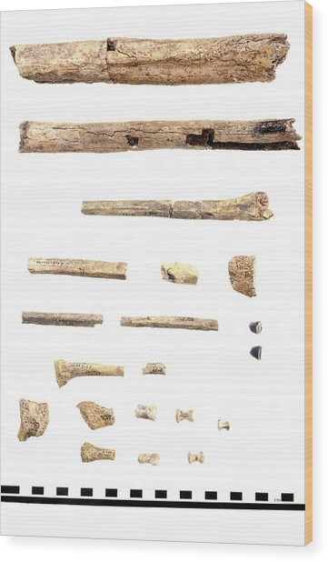 Homo Skeleton Fragments Wood Print by John Reader/science Photo Library