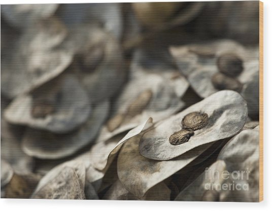Honesty Seeds Wood Print
