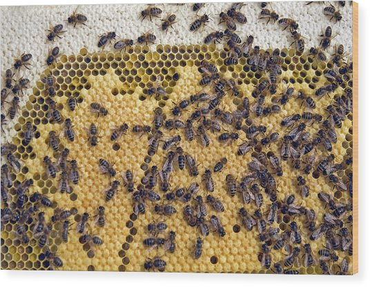 Honeybee Brood Frame Wood Print