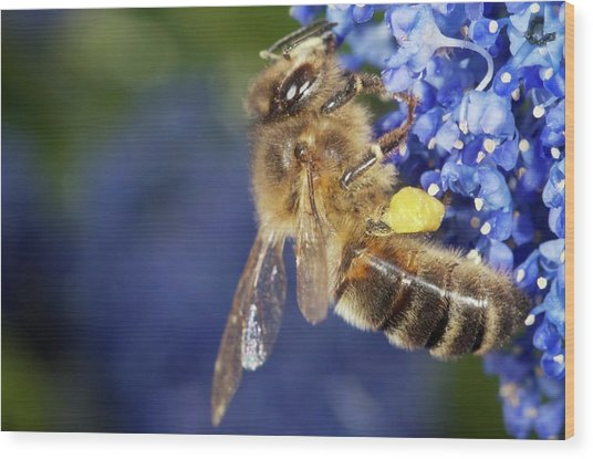 Honeybee Collecting Pollen Wood Print