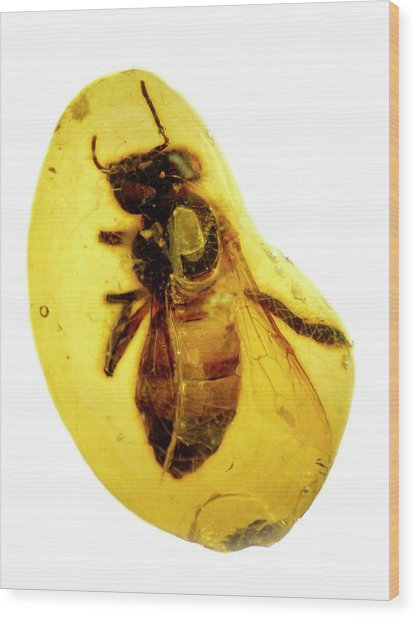 Honeybee In Amber Wood Print