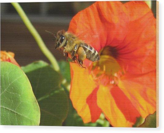Honeybee Leaving Nasturtium With A Full Pollen Basket Wood Print