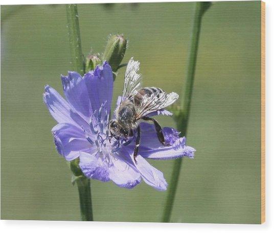 honeybee on Chickory Wood Print