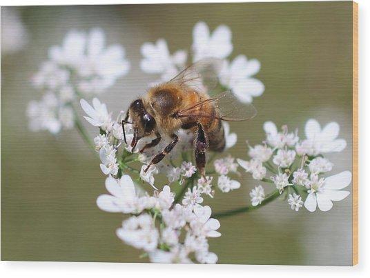 Honeybee On Cilantro Wood Print